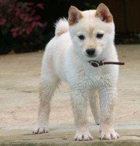 Shiba Inu Anjing <3