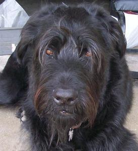 I have one dog and he's my baby ; )  He is a Giant Schnauzer.