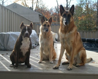 i have 7 dogs. two pitbulls two German shepherds and shi-zuh maltise and a chihuahua here is a pic of three of them.