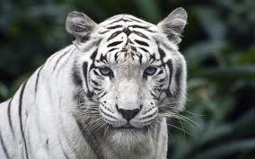 tigri are better