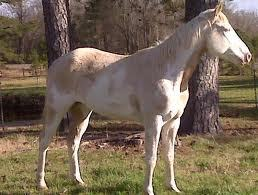if i had a horse it would be a パロミノ paint gelding with a tovero pattern, a bald face, and four white stockings with blue eyes.