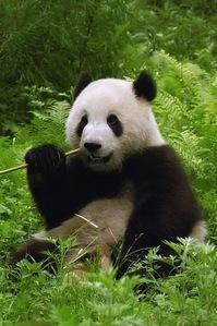 A Panda медведь