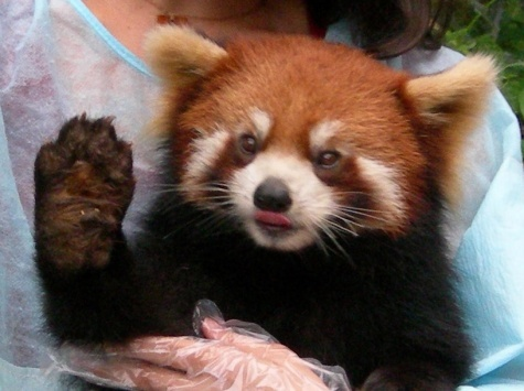Hello Lexlie. I am a red panda. I eat bamboo and am one of the cutest things on planet earth.