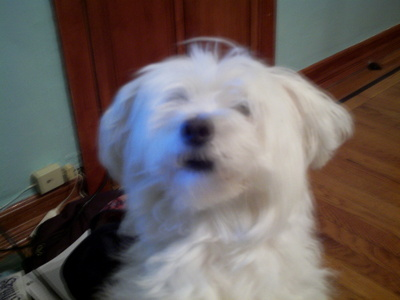 This is my dog,Keke. She's a maltipoo,a пересекать, крест between a maltese and a poodle. She's a bit hyper,so taking a picture of her isn't that easy.