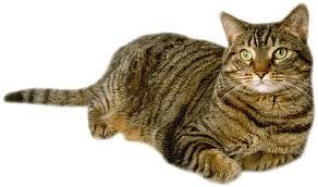 is it a certian type of cat? if it is,then a Tabby!!