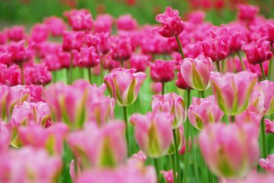 Tulips There are so beautiful and there colour is so vibreant!