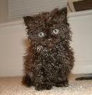 This isnt my kitten but i wish it was. A little selkirk rex kitten. :)