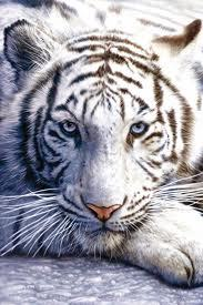 My patronus is a bengal tiger.