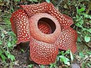 I'm come from Indonesia, my state flower is jasmine, but I'll post another flower .. The unique one .. Rafflesia Arnoldi
