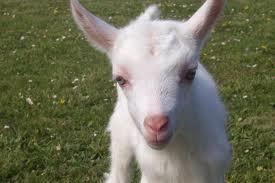 Won't let me watch it...too lazy to look up on youtube... Here's a picture of a goat to make up for useless response.