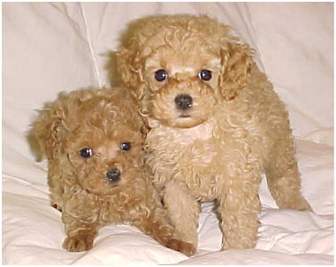 What Is The Life Expectancy Of A Teacup Poodle Poodle