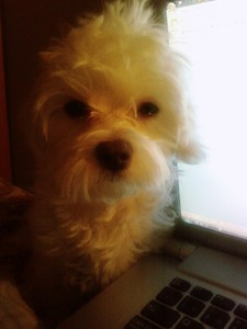 """Yes it's a Maltese and that's her """"are u fuckin kidding me"""" look xD it was late and she wanted me to turn off the computer so that we could sleep lol"""
