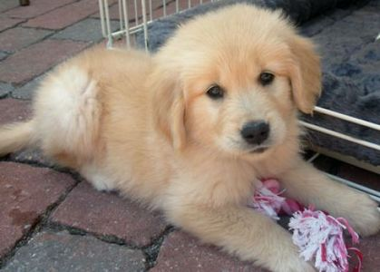 A cute Golden Retriever puppy. How could anda now go awww when anda look at that adorable little face?