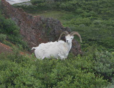 A ram, apparently. ugh there are like no good pictures of rams it took me so long to find this