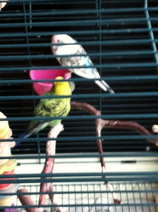 Yes, two parakeets. Kiwi (green one) and Sky (blue one). I used to have another blue one but she flew away, :( her name was Topaz.