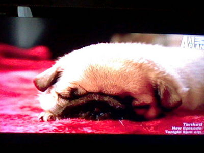 ivan from a 显示 on animal plant called too cute he is a pug