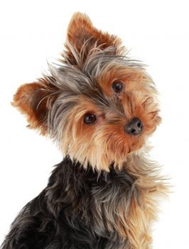 i would have a girl yorkie called daisey te can spell daisey d a i s y but i spell it d a i s e y because its diffrent.I would Amore to have a girl and boy but i want to train the dog and it will cost to much but if i did get a boy yorkie i would call it gump and the girl yorkie would be brown and black so would the boy one