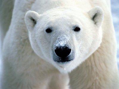 A fucking polar bear.