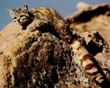 Andean Mountain Cat?