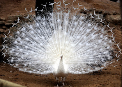 A peacock? 8'D I have a white peacock character. Those white ones look so awesome. (Look below)