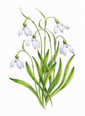 """For me, it is a Snowdrop. The bunga it self is beautiful and the color is gorgeous. And the meaning behind the name it self are really touching and amazing :) And seeing this flowers, makes me want to believe in """"Hope"""" and """"Miracle"""" again, just like its meaning :)"""