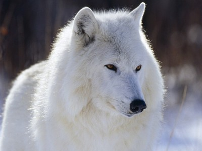 A wolf. And NO I am not trying to be clique. That really is my Favorit animal. It's my Favorit because I can see some of myself in it. In reference to personality.
