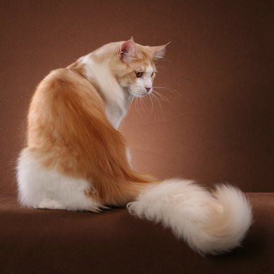A oussy cat without a long-ass tail.
