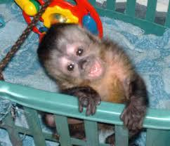 a capucin Monkey, I've always wanted one