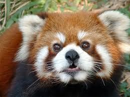 He IS a red panda. See the similarity?