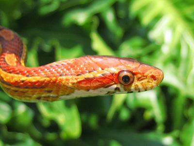 blé, maïs snakes are so cute. : 3