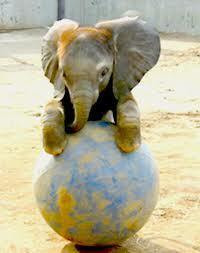 baby éléphant <3