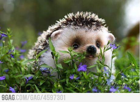 Hedgehogs running in fields of purple flowers!