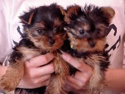 if te got a yorkie for your b-day would it be a girl o a boy o both and what would te name it/them an what color would it be