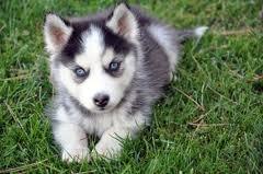 Long wait for a husky :(