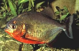 This species is called the Red-Bellied Piranha because of the coloring on it's belly