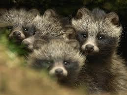 Japanese raccoon dog pups