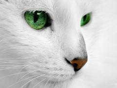 I am whitespots and i am a whitte she cat w/ a black underbelly and spots Pericing green eyes