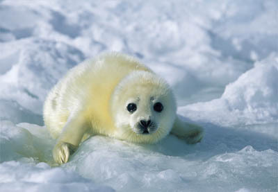 <b>Round 17: Harp Seal<br /> <br /> Phase One will end on February 25, 2012.</b>
