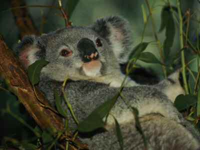 Mine. Koalas are so cute. Poor animals suffer because of humans :(