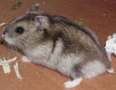 <b>Smilebaby05</b> I&#39;m sorry but that&#39;s not a <b><u>Djungarian</b></u> Hamster. Djungarian Hamster is