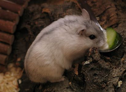 White version of Djungarian Hamster.