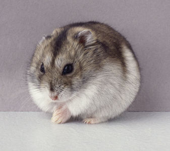 Mine. Hamsters are so cute, especially these :)<br /> <br /> Isn&#39;t djungarian hamster also called syr