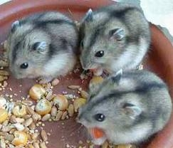 I Like Djungarian Hamster and I Have Three of Them.
