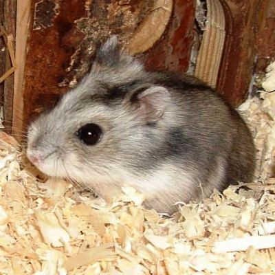 MINE:<br /> These hamsters are so cute!<br /> (Is this a Djungarian Hamster?) :)