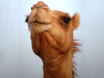 Camel!!!