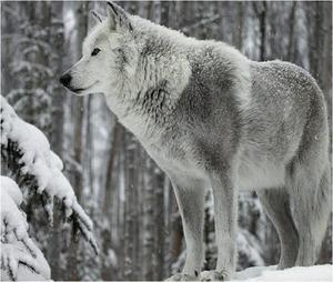Silver wolf :)