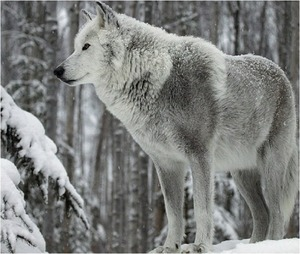 Image result for silver wolf