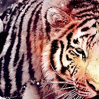 Cat#2 [Siberian Tiger: around 500 in the wild]