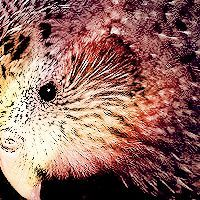 Cat#3 [Kakapo Parrot: about 150 in the wild]