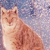 Cat. 3  The Eurasian lynx is one of the widest ranging of all cat species. It was once distributed th